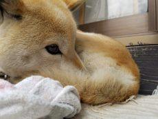 お客様宅の庭に住んでる柴犬