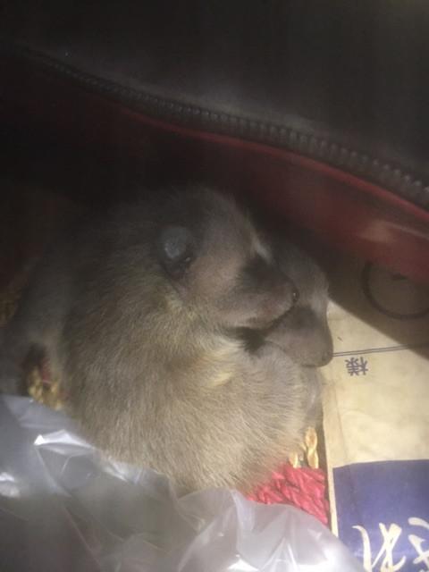 神奈川県横浜市旭区 アライグマが出産