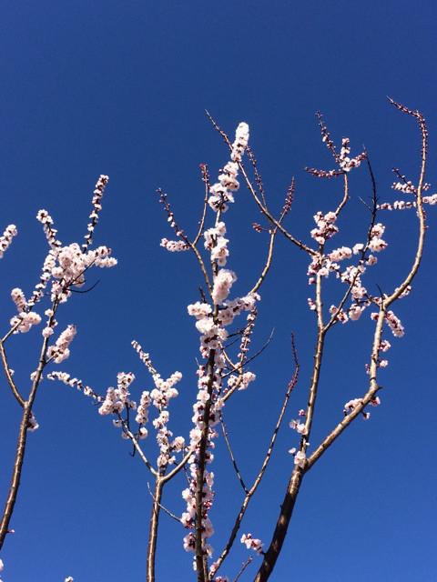 埼玉県戸田市にて見つけた春。梅の花