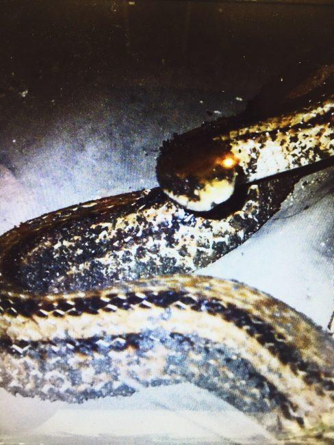 床下で遭遇したシマヘビ