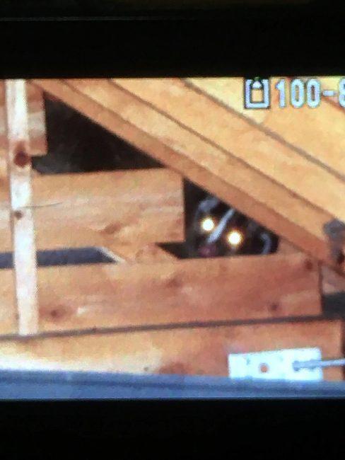 屋根裏にて遭遇したアライグマ
